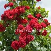 Роза плетистая SYMPATHIE