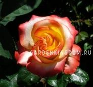 Роза флорибунда SUNITA
