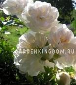 Роза почвопокровная SWANY