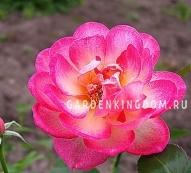 Роза миниатюрная SWEET SIMPHONY