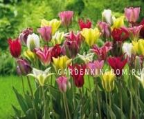 Тюльпан зеленоцветковый  Смесь, 10 шт