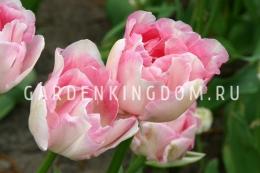 Тюльпан пионовидный  ANGELIQUE, 3 шт