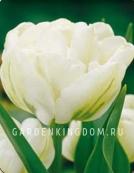 Тюльпан пионовидный  CASABLANCA, 3 шт