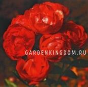 Роза миниатюрная VATERTAG