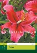 Лилия восточная COBRA, 1 шт