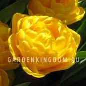 Тюльпан пионовидный  YELLOW POMPONNET, 3 шт