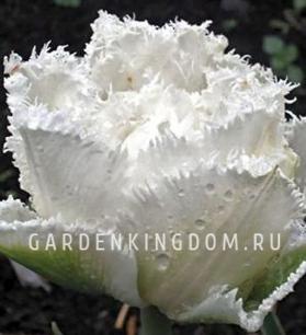 Тюльпан бахромчатый  SNOW CRYSTAL, 2 шт